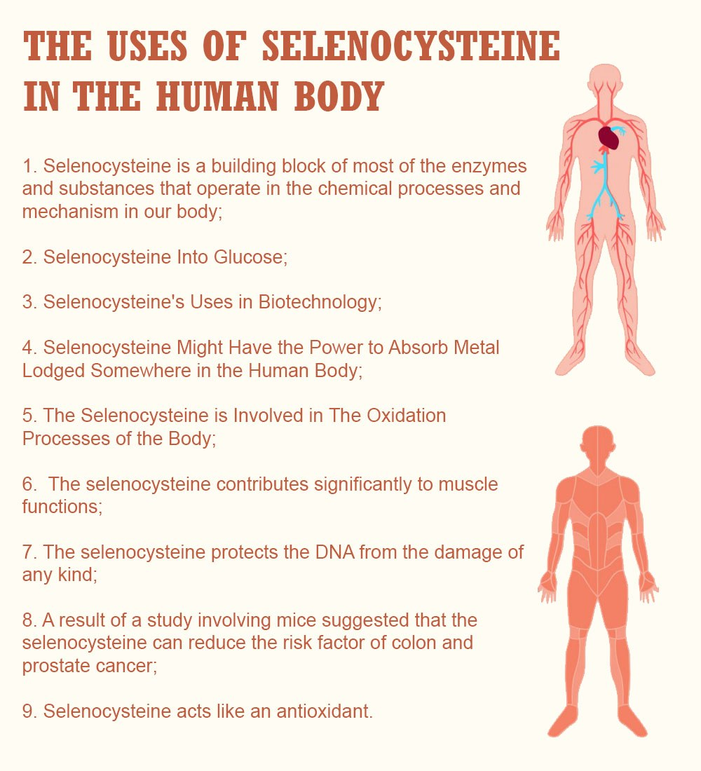 The Uses of Selenocysteine In the Human Body